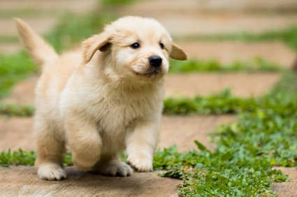 looking-for-a-golden-retriever-puppy-for-sale-55084a0befe58